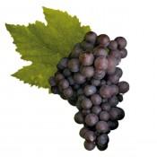 Pinot Grigio (4)
