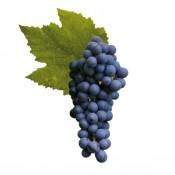 Pinot Noir (1)